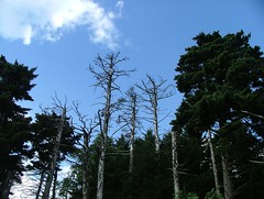 Some dead fir/spruce because of acid rain on Whitetop Mountain.