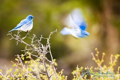 A thing of beauty is a joy forever (wildphotons) Tags: mountain rocky bluebird np sialia sialiacurrucoides currucoides megashot