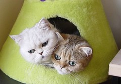 Lua and Ling (_Xti_) Tags: pet cats pets cat silver mouth golden persian fantastic eyes furry feline chat kitty gatos exotic gato gata lua felines gothamist gatto ling katzen gatti cutecat mau exoticcats kaz ktzchen ket gatas exoticcat gatosexoticos gatoexotico mo sorthair exoticsorthair abigfave kissablekat