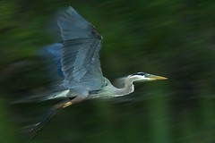 Zoom Zoom (Nikographer [Jon]) Tags: park blue lake bird heron topf25 water birds animal animals topv111 centennial lenstagged inflight topv333 nikon quality photoshopped great maryland ardea motionblur d200 nikkor greatblueheron herodias ardeaherodias gbh 80400mmf4556dvr centenniallake nikond200 nikographer theworldthroughmyeyes specanimal animalkingdomelite abigfave akassignmentmotion nikographerjon