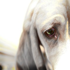 The sad eyes of a Bassett (SerialCoder) Tags: dog zeiss 50mm hound jena bassett