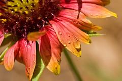 Raindrops on Indian Blanket (key lime pie yumyum) Tags: flower macro wet rain delete10 delete9 delete5 delete2 petals delete6 delete7 save3 delete8 delete3 delete delete4 save save2 save4 cheesy indianblanket passflowermacro