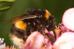 """Bumble Bee (Bombus terrestris) • <a style=""""font-size:0.8em;"""" href=""""http://www.flickr.com/photos/57024565@N00/223061641/"""" target=""""_blank"""">View on Flickr</a>"""