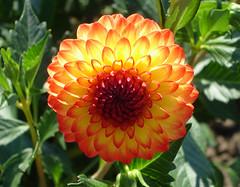 The Warmth of the Sun (oybay©) Tags: dahlia orange flower macro oregon orangeflower pedals upclose canby swanislanddahliafarm abigfave