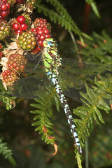 """Southern Hawker (Aeshna cyanea) Dragonfly • <a style=""""font-size:0.8em;"""" href=""""http://www.flickr.com/photos/57024565@N00/229894125/"""" target=""""_blank"""">View on Flickr</a>"""