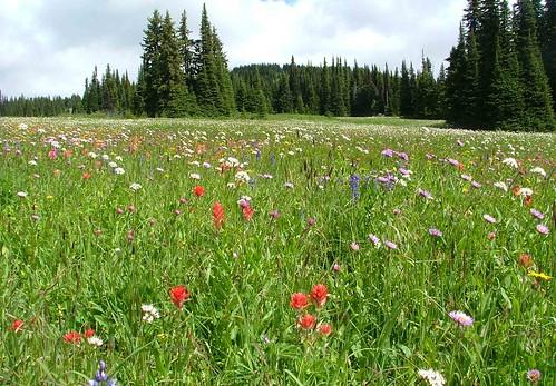 de meadows
