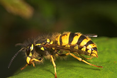"""Common Wasp (Vespula vulgaris) • <a style=""""font-size:0.8em;"""" href=""""http://www.flickr.com/photos/57024565@N00/233555314/"""" target=""""_blank"""">View on Flickr</a>"""