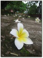 One among all (vanarts) Tags: white flower yellow interestingness ground vietnam explore flickrinterestingness flickrexplore
