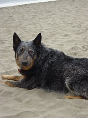 Sancho Looking Out For The Flinger Of Sand (jmrfife) Tags: fortfunston sancho