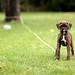 子犬:Kevin's new Brindle Boxer pup, Skyy