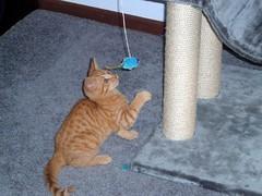 Raphs favourite kitten toys 2 (Annie - JTL) Tags: kittens favourites raphael scratchingpost toyplay