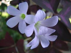 Shamrock Plant Flowers