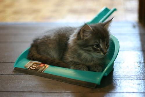 Dust pan kitten 2