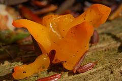 Yellow Brain Jelly (Tremella mesenterica) turning orange - by TrombaMarina