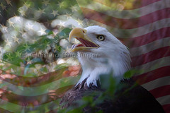 Memorial Day / Memorial Weekend, The Strength to Overcome and Be United... a Bald Eagle at the National Zoo in Washington DC (joschmoblo) Tags: copyright d50 washingtondc dc washington nikon memorial day eagle weekend flag 911 bald honor statues patriotic american nationalzoo tribute september11 waving 18200 memorialday allrightsreserved 2007 memorialweekend nikondslr joschmoblo christinagnadinger memorialdayfestivities