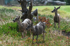 Deer Near the Point Pinos Lighthouse (ramislevy) Tags: deer pacificgrove pointpinos blacktaileddeer montereypenisula
