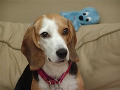 Gypsy - December 2005 (kamelotsbigfan) Tags: dog brown beagle tag3 taggedout tag2 tag1 rip courtney memory gypsy loved missed gypsycourtneybeagledogmissedgone