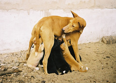 Hungry dogs in Cotonou, Benin (It's Stefan) Tags: africa dogs animals interestingness expression streetlife drop explore top20dogpix 5bestdogs hungry benin feral hatchling cotonou straydogs explored abigfave