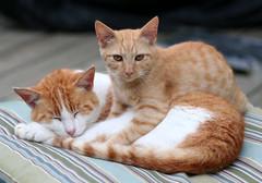 He makes a nice pillow too (Boered) Tags: orange cats cat interestingness elmo pillow specter top20cats cc300 abigfave oreengeness