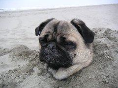 Taking a Nap (Dunechaser) Tags: dog pets cute beach dogs animals pug  pugs    canines pugsly