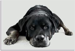 One-Armed Bandit (RottieLover) Tags: dog pet pets dogs animal animals puppy puppies nikon rottweiler d200 vesuvio rottie rottweilers 18200mm rotties 18200mmf3556gvr mrsu vesu