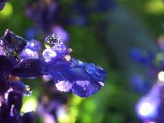 Blue Drops 3 (ecstaticist - evanleeson.com) Tags: blue light sun flower macro green water garden focus bokeh obsession drop dew refraction droplet bokehsonice 1000drops