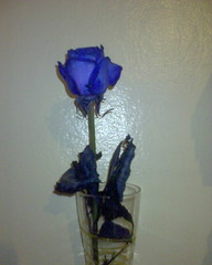 Pressie from Owen (Mojen) Tags: cameraphone blue flower boyfriend rose moblog phonecam present vase owen pressie bluerose owenblacker sonyericssonw550i