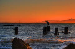 Bird and THE Bridge (flopper) Tags: ocean sanfrancisco california sunset sea sky bird heron birds bay rocks waves quality beak hills goldengatebridge sanfranciscobay greatblueheron ardeaherodias ggb albanyca flopper i500 interestingess499 outstandingshots specnature p1f1
