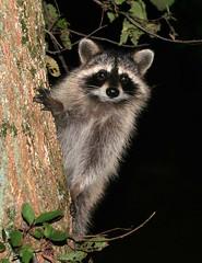 The masked bandit (Boered) Tags: tree top20animalpix indiana catfood thief raccoon bandit specanimal animalkingdomelite abigfave inwildlife