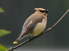 Cedar Waxwing (ru_24_real) Tags: bird nature birds wildlife columbia cedar british waxwing cedarwaxwing bombycillacedrorum specanimal animalkingdomelite abigfave