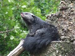 036 Binturong (CatsFrauPau) Tags: zoo asien 2006 september duisburg indien bearcat binturong arctictisbinturong zooduisburg september2006 palawanbearcat schleichkatze marderbr palmenroller asienbearcat