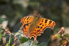 """Comma Butterfly (Polygonia c-album)(7) • <a style=""""font-size:0.8em;"""" href=""""http://www.flickr.com/photos/57024565@N00/251210839/"""" target=""""_blank"""">View on Flickr</a>"""