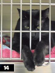 Sassy, a Lovely Black Girl Cat at Heartland Humane Society (Pixel Packing Mama) Tags: awww catsandkittensset heartlandhumanesociety number14 pixelpackingmama dorothydelinaporter 100viewspool views100pool cc100 reallyunlimited spcacatspool theoneblackcatpool views101200pool ceruleanthecat~fanclubpool reallyunlimitedpool boohooclub centurianclub100200viewspool allcatsallowedpool blackanimalspool uploadedsecondhalfof2006set monochromepetspool allwelcomeiamsickofrulesandregulationsnewcontestpool oversixmillionaggregateviews over430000photostreamviews