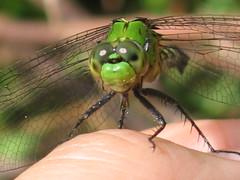 Green Eyes (aneye4wonder (Ineta McParland)) Tags: green female dragonfly eastern pondhawk greenjacket erythemis simplicicollis