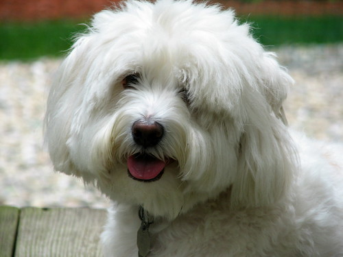 Tibetan Terrier Dog Breeds