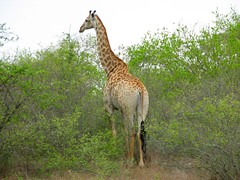 IMG_0843l (merlinhellfire) Tags: africa animals south girafe
