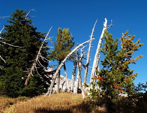 White Bark Pine