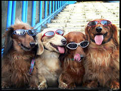 K9-Cool (Danz in Tokyo) Tags: leica people color dogs wearing sunglasses japan puppy japanese tokyo glasses interestingness cool asia shades harajuku sunglass  nippon  5bestdogs doggie fz30 dachshunds wienerdogs nozoom topv11 danz dashhounds topv22 pupps dashhoundswearingsunglassesintokyo fourcutedogsinshades
