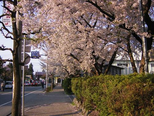 春・桜 - 城南小学校2