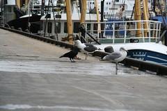 20061008_0171 (dejuffies) Tags: meeuwen kraai
