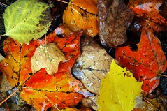 fall leaves (snapstill studio) Tags: fall michigan firstsnow petoskey martinmcreynolds