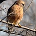 Red -shouldered Hawk By Jack Bird