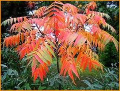 A hazy shade of autumn garden....Unser Essigbumchen herbstelt schon... (Waldgeister's Sound of Silence) Tags: autumn its shade hazy kleiner unser essigbaum herbstelt