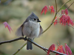 Flirting 4- View Set In Order (Trish Overton) Tags: tree male bird birds japanese maple flirt indiana flirting titmouse tufted birdphoto specnature avianexcellence