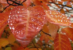 Decorated Leaves (vijayal) Tags: autumn red color fall wet beautiful leaves rain wow wonderful catchycolors droplets drops fantastic gorgeous awesome neat lovely organge decorated fplp