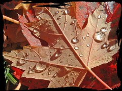 Rain on Fallen Leaf (2) (Roger Lynn) Tags: macro fall colors moscow arboretum idaho universityofidaho palouse featuredinexplore