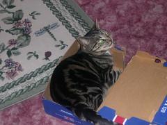 cat in a shoe box