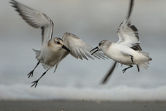 Sanderling (Calidris alba) (m. geven) Tags: topf25 birds terschelling bravo vogels d200 sanderling kiss2 calidrisalba drieteenstrandloper 17tc featheryfriday kiss3 i500 interestingness022 kiss1 kiss4 kiss5 specanimal animalkingdomelite abigfave 200400vr generouscomments birdpixweekend akassignmentmotion 30faves30comments30views spectacularbirdsofeurope