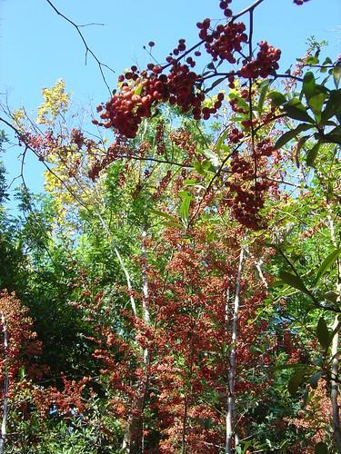 Toyon Berries