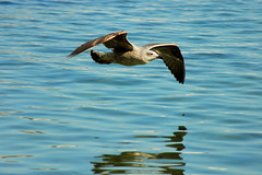 Freebird (pmsmgomes) Tags: blue bird water flying inflight nikon seagull gliding dslr overthewater pmsmgomes nikonstunninggallery d70sdigital soileffect gullwings